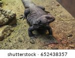 Small photo of A friendly uromastyx lizard in the sand.