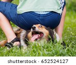 Small photo of Naught boy pretend to sit on a Shetland sheepdog, the dog's expression is so funny, show the whites of its eyes