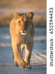 young lioness in the savuti...   Shutterstock . vector #652594453