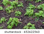 strawberries send out runners... | Shutterstock . vector #652622563