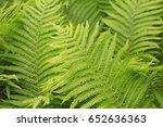 background of fern leaves | Shutterstock . vector #652636363