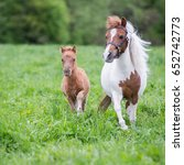 Small photo of Mini horse mare and her foal.
