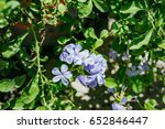 Small photo of Blue ice bluster flower with green leaf