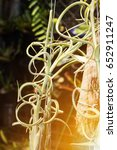 Small photo of air plant with scientific name Tillandsia
