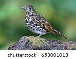 bird  scaly thrush is standing... | Shutterstock . vector #653001013
