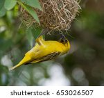Small photo of Lesser-Masked Weaver
