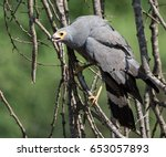 Small photo of African Harrier-hawk hunting