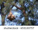 Wasp Nest On The Pine Tree.