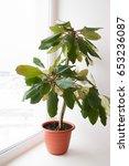 Small photo of Indoor plant calla lilies (Euphorbia) succulent Euphorbiaceae family belongs