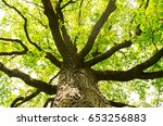 big old oak tree in nature in... | Shutterstock . vector #653256883