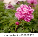 pink peony over the green leaves   Shutterstock . vector #653322493