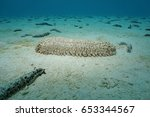 A Pineapple Sea Cucumber ...