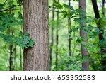 maple  | Shutterstock . vector #653352583