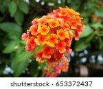 Close Up Of Lantana Flower  ...