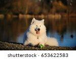 Samoyed Dog Lying On Lake Shor...
