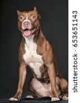 Stock photo brown pit bull terrier 653651143