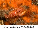 Small photo of Snapping shrimp, Alpheus leviusculus, Bali Indonesia.