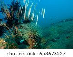 Small photo of Razorfishes, Aeoliscus strigatus, Bali Indonesia.