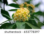 Small photo of Alstonia spatulata Blume