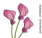 Three Pink Callas Flower