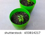 Green Young Basil Sets In Gree...