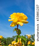 beautiful yellow rose in a... | Shutterstock . vector #653881237