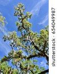 Oak Tree  Quercus  With Spanis...