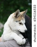 Small photo of Girl hold beautiful Siberian husky puppy.Adorable little hunter dog with long grey fur.Good family friend & hunter.Purebred domestic pup.Furry wolfling cub