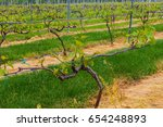 grape vines in a connecticut...   Shutterstock . vector #654248893