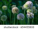 Small photo of Flower Allium rotundum