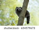Raccoon Gargle Splashing In Th...