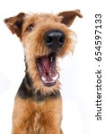 Airedale Terrier Dog Catches...