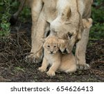 adult lioness picking up her... | Shutterstock . vector #654626413
