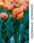 beautiful orange tulips in the...