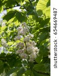 Small photo of Aesculus hippocastanum branches in bloom