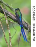 Small photo of Violet-tailed Sylph (Aglaiocercus coelestis coelestis), male.
