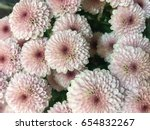 Beautiful Pink Chrysanthemum A...