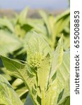 Small photo of Close up Common tobacco, the Nicotiana tabacum is an annually-growing herbaceous plant