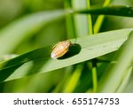 Small photo of Parent bug (Elasmucha grisea), shield bug, stink bug, family of Acanthosomatidae. Extreme macro of a single bug sitting on grass stem. Horizontal view from top