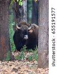 indian gaur in the nature... | Shutterstock . vector #655191577