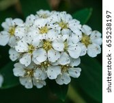 Small photo of A macro shot of the white blossom of a spiraea bush.