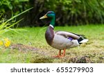 mallard duck in nature... | Shutterstock . vector #655279903