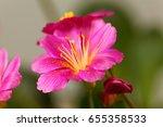 Flower Of A Siskiyou Lewisia ...