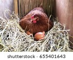 A Hen Is Laying Egg In Straw...