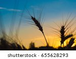gold ears of wheat close up on... | Shutterstock . vector #655628293