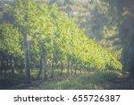 vineyard landscape on foggy...   Shutterstock . vector #655726387