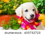 Stock photo a month old white golden retriever puppy playing in the garden shallow dof 655732723