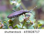 Small photo of Dicranocephalus albipes walking on a green flower