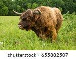 scottish highland bull looking... | Shutterstock . vector #655882507