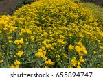 Small photo of Lots of small yellow flowers of Alyssum montanum